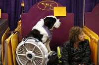 Aristocrat, a St. Bernard, sits with his owner Linda Baker at the 137th Westminster Kennel Club Dog Show in New York