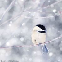 perfect little chickadee