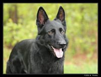 Pure black German Shepard