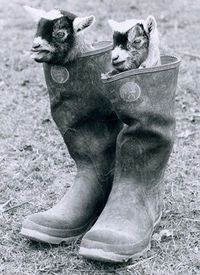 Goats. In boots.