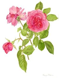 "Rose ""gertrude jekyll"" by and copyright Margaret Stevens - beautifully bright"