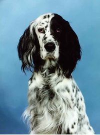 English Setter demonstrating yin/yang