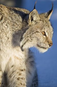Lynx by Torstein aka TR on Flickr.