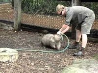 Chubby Wombat Wants to Play With Zookeeper