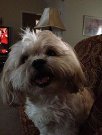 leo the lion (dog,shihtzu,shih,tzu,puppy,cute,adorable)