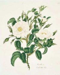 Mary Lawrence Double White Rose 1799
