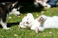 puppy and tiger cub