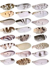 Like butterflies, different species of fruit flies decorate their wings with a great diversity of spots and patterns. Digging deep into a single gene that produce pigmentation in the flies, a group led by UW-Madison biologist Sean Carroll has found the mo...