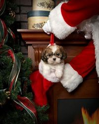 Christmas Shih Tzu pup ... not happy with Santa