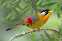 the silver-eared mesia (leiothrix argentauris) is a species from southeast asia. from emuwren
